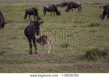 A Young Gnu Calf Diking