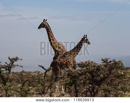 Two Rothschild's Giraffes Crossing Necks