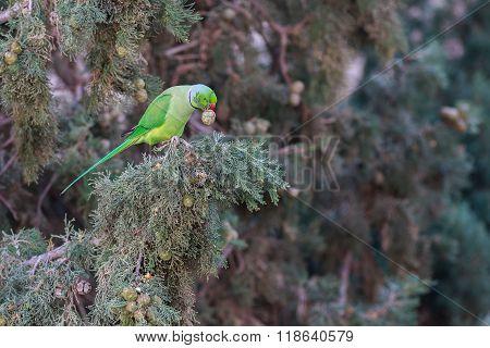 Rose-ringed Parakeet, Psittacula Krameri, Green Parrot.