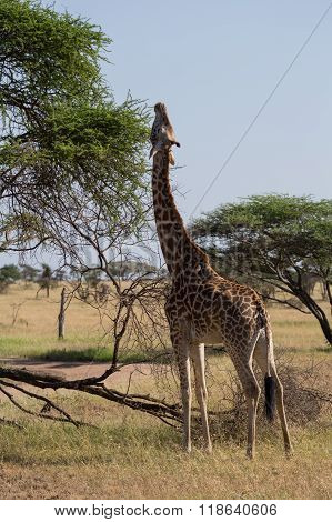 A Rothschild's Giraffe Eating