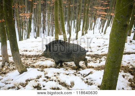 Wild Boar In Muddy Snow