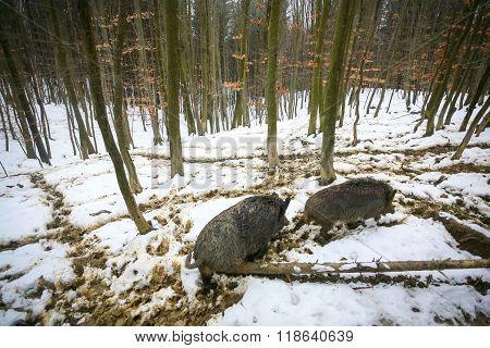 Wild Hogs In Muddy Snow