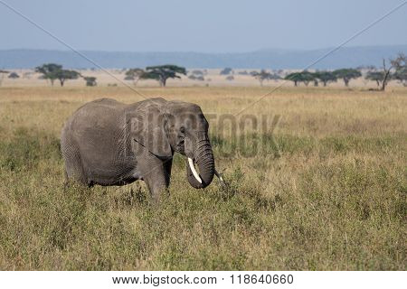 An Adult Elephant Grazing