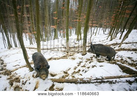 Wild Hogs In Snow