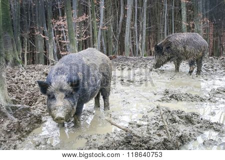 Two Wild Hogs In Forest