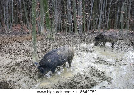 Two Wild Hogs In Mud