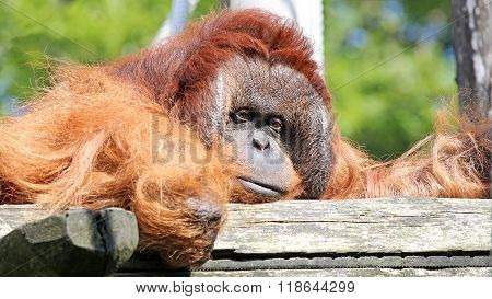 Orang utan male portrait with green background
