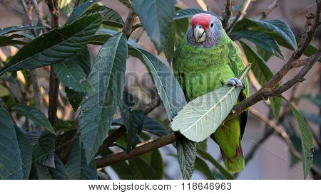 Red Tailed Amazone parrot sitting on a tree branch