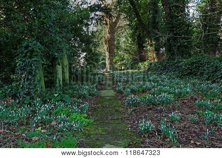 Snowdrops Beside A Churchyard Path