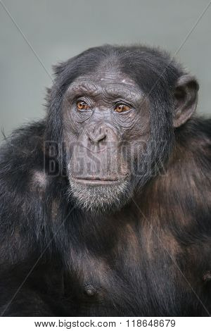 A portrait of a male Chimpanzee leader
