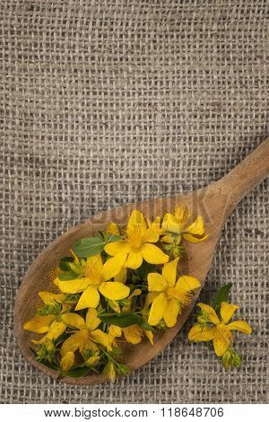 Fresh yellow flowers of medicinal plant St. John's Wort on wooden spoon, burlap background, copy space
