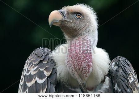 Rüppell's Vulture Portrait