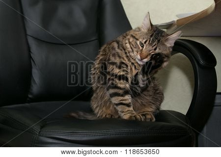 Cat At The Office Chair