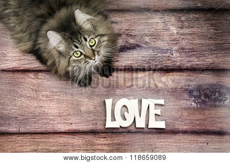 maine coon cat on wood background