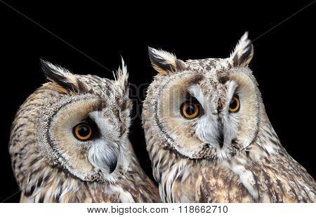 Two Boreal Owls