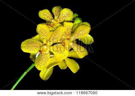 Beauty Yellow Dendrobium Orchid In Black Background, File Includes A Excellent Clipping Path