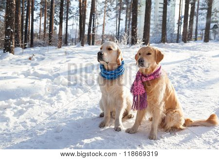 Portrait of two young golden retriever