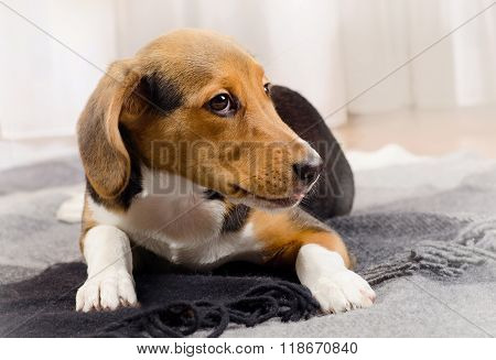 Cute Beagle Puppy On A Soft Blanket.
