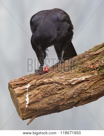 Black Crow Eating