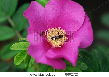 Flower pink wild rose and a bee collecting honey nectar.