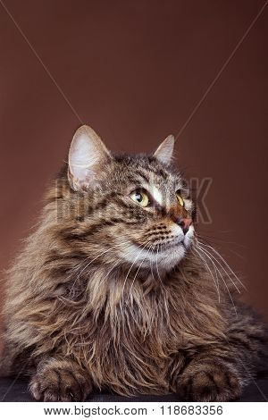 Cat In Studio Looking Away From Camera On Brown Background