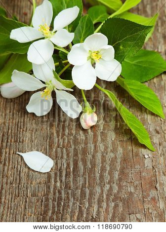 Apple blossom with leaves