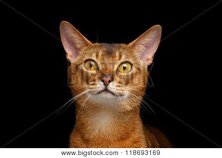 Closeup Portrait Of Beautiful Abyssinian Cat Isolated On Black