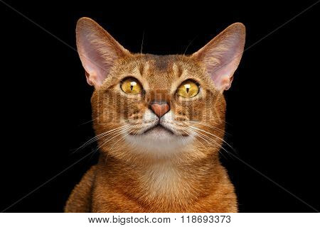 Closeup Portrait Of Lovely Abyssinian Cat With Heart Nose Isolated