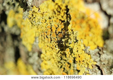 Yellow Disputes Of A Fungus On Tree Bark