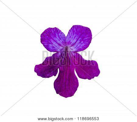 Streptocarpus Purple Flower.