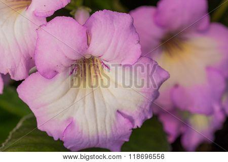 Streptocarpus Soft Purple Flower.