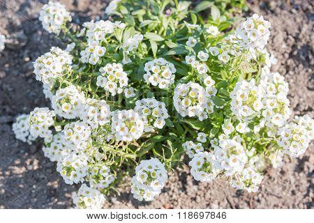 White Flowers Of Lobularia Maritima.