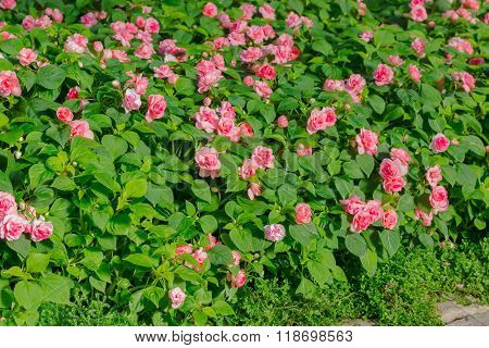 Beautiful Impatiens  Flowers.