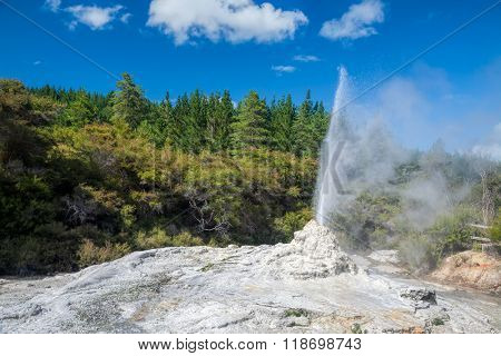 Lady Knox Geyser erupting at Wai-O-Tapu  geothermal area in New Zealand
