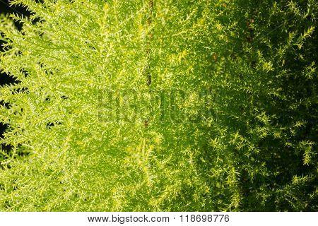 Thuja Green Texture.