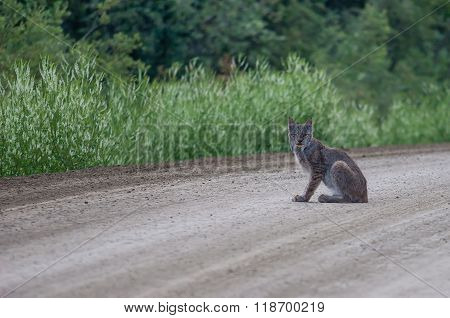 Lynx On The Dalton Highway