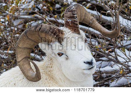 Full-curl Dall Sheep Ram In Denali National Park