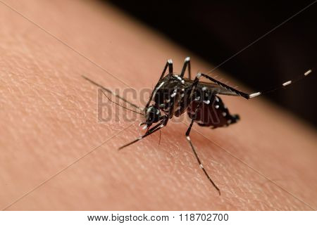 Macro Of Mosquito Sucking Blood