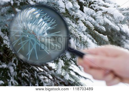 Person holding a magnifying glass next to a fir tree