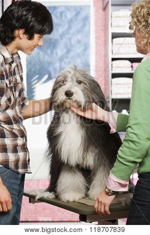Sheepdog at pet grooming salon
