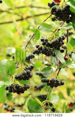 Black Ashberry Plant With Fruits