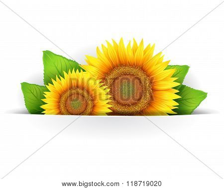 Flower of sunflower isolated on white