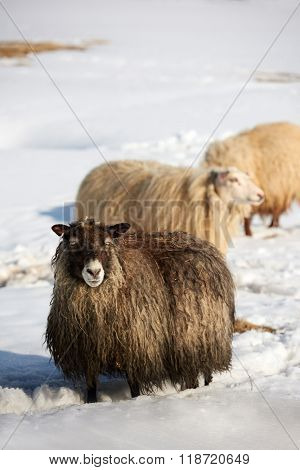 Icelandic sheep with thick fluffy wool standing in thick snow