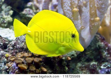 Yellow Zebrasoma In Aquarium