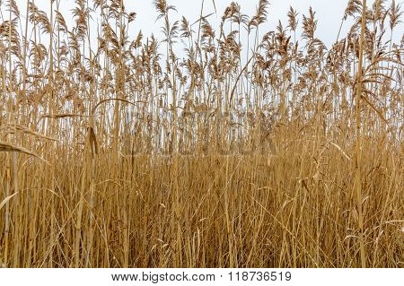 Dry Grass Texture Over Frozen White Winter Sky. Winter Background With Tall Dry Grass And Flowers Ov