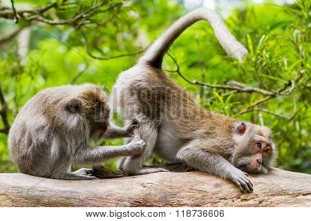 Monkeys On Tree Massaging Each Other. Monkey Forest In Ubud, Bali, Indonesia.