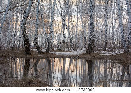 Birchwood on the spring. Reflection in thawed snow