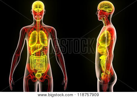 Human Body Organs (Brain, Lungs, Large and Small Intestine with Kidneys)