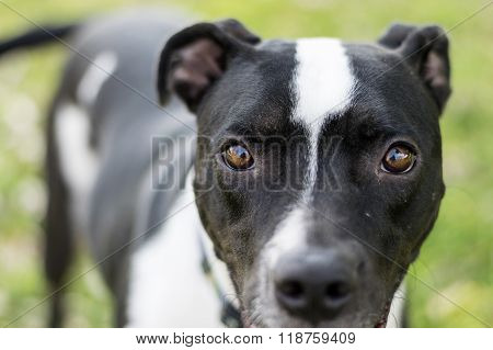 Closeup of black and white dog looking into the camera lens