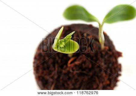Two Green Sprouts Growing From The Earth